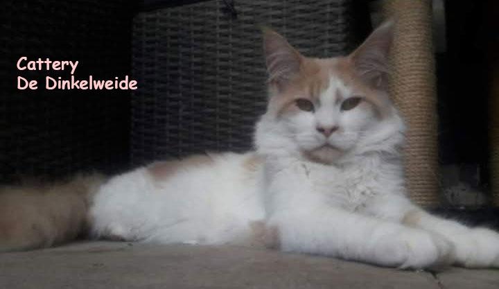 Cattery De Dinkelweide - Maine Coons  Kittens beschikbaar