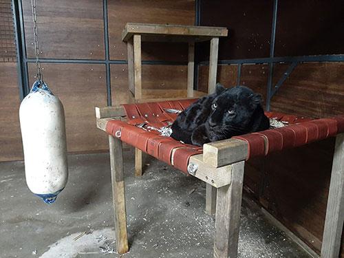 Zwarte Panter Akilla, Adopteer een dier, Stichting Leeuw