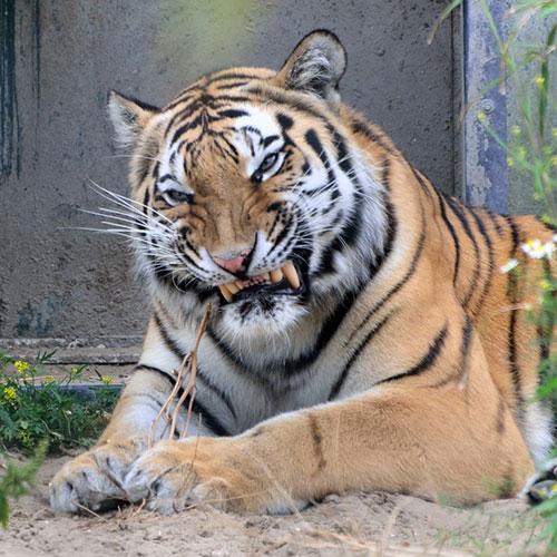 Bombay Tijger Adopteer een dier
